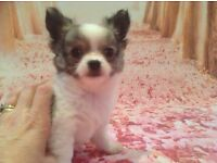Long haired Chihuahua puppy (KC). White, tan and grey female.