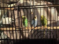 For Sale 3 Baby Budgies With Small Black Cage