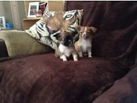 Chihuahua cross shih tzu boy puppies £350