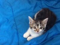 4 lovely kittens for sale. Mixed breed kittens. 1/4 Bengal. 9wks old. Well socialised.