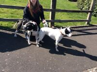 2 beautiful adult staffies need a loving home together
