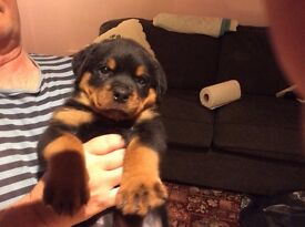 Rottweiler pups for sale , 3 dogs,4 bitches.Bred in the Purple & fantastic temperaments.