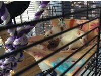 Rats female x3