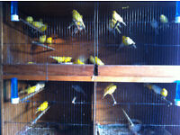HEALTHY Canary Birds male £20 each £35 a pair 2016 ready to lay egg in few week time