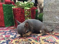 All Blue litter of chihuahua puppies 10wks ready now