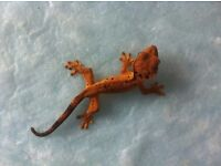 Super dalmatian crested gecko baby 2