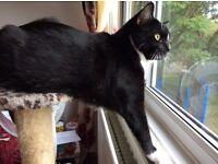 Male Neutured tuxedo cat for adoption