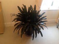 Clovis Kaffir Lily House Plant