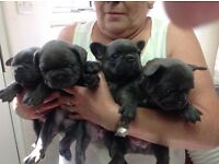 French Bulldog pups