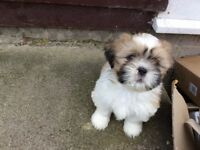 SIMPLY STUNNING FEMALE LHASA APSO x SHIH TZU PUPPY SHIH-APSO Ready to leave now for her forever home