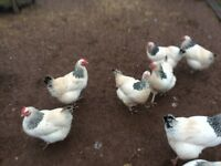 2x Sussex hens collection only from torquay