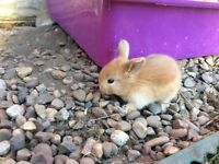 Mini lop bunnies