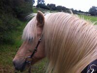 Icelandic horses would like Weekend Sharers