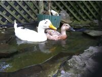 Pet ducks