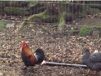 3 red cockerals
