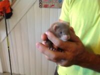 Ferrets 10 weeks old ready to rehome
