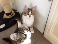 Two Small 8 Week Old Kittens For Sale {Boy and a Girl}