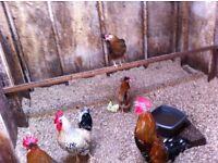 swedish flower chickens