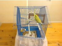 FOR SALE 2 BEAUTIFUL BODGES with CAGE