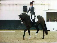 stunning dutch warm blood brood mare