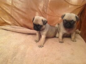 Fawn pug puppies kc reg