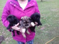 ### PUPPYS FOR SALE ####