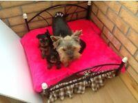 Yorkshire Terrier Pedigree Puppies