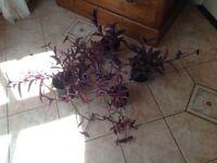 Indoor/outdoor purple plants X 4