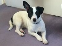 Jack Russell Dog For Sale, 9mths old