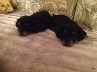 Long Haired Miniature Dachshunds for sale