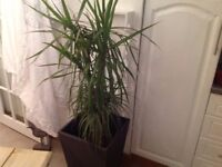 Large Yucca Plant in Large Pot