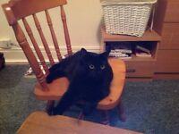 Female long-haired black cat
