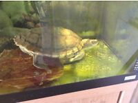 Mississippi Map Turtle with full set up