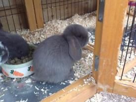 Two grey lops