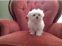 Maltese cute pure Maltese puppy