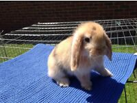 Male lopped ears baby bunnies for sale