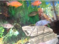 MALAWI CHICHLIDS FISHES FOR SALE