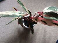 Variegated house plant