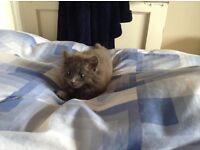 Beautiful grey long haired kitten