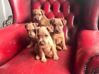 4 Red Lakeland Terriers