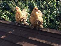 Gold partridge pekin bantam/chicken/hen