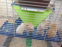 3 DWARF HAMSTERS for sale reduced to £15