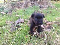 Jackrusel puppys