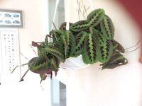 Beautiful Indoor Prayer plant