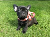 Litter of French bulldog puppies for sale