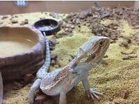 2 year old Bearded Dragon with everything he needs