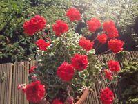 Beautiful variegated red geraniums - make large unusual plants