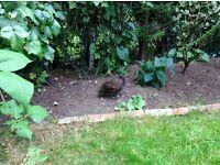 Female peacock found in garden. Leeds 8
