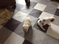 French bulldog puppy