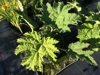 Large Brazilian Gunnera Manicata plants in 20 Litre Tubs For Sale.